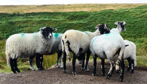 Free stock photo of sheep