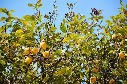 Free stock photo of lemons