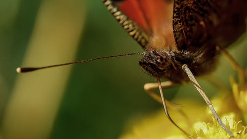 Foto profissional grátis de borboleta, inseto, macro, polinização