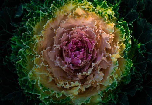 HD Photography Of Flowering Cabbage