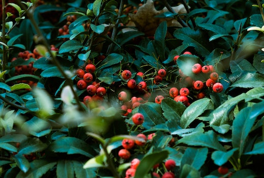 Red Fruit Surrounded By Leaves