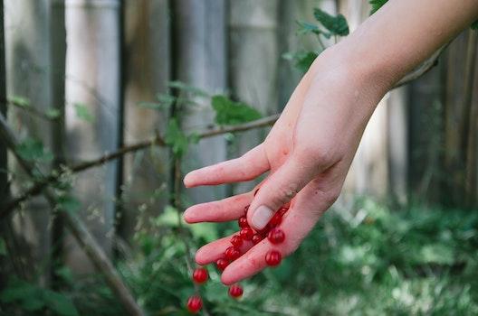 Free stock photo of berries, currants, redcurrants