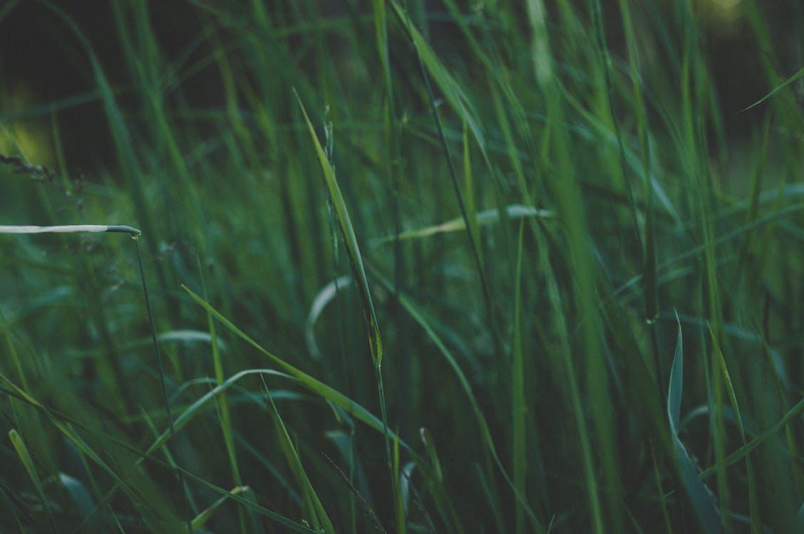 camp, creixement, herba