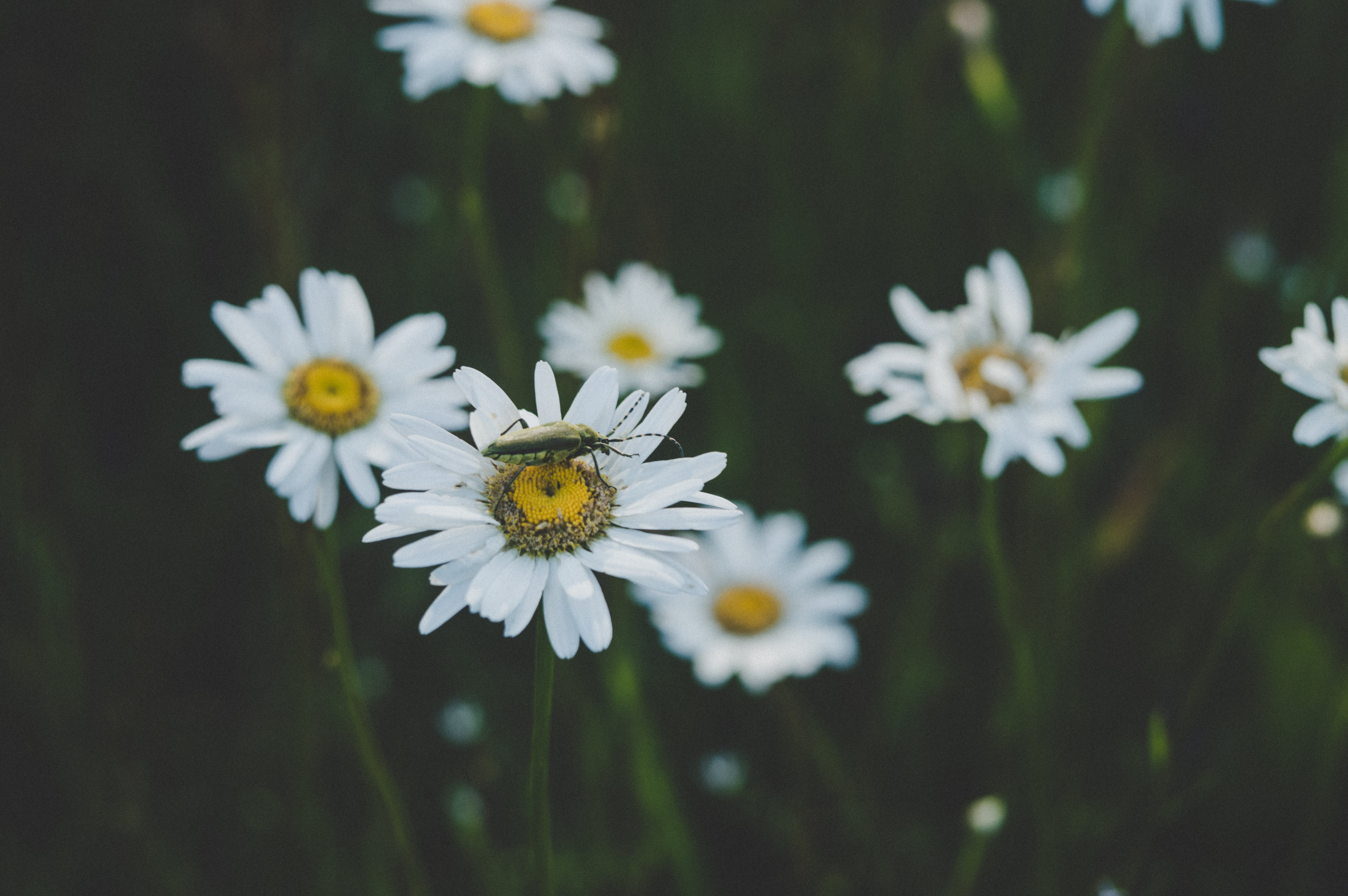 Insect On White Daisy Flower