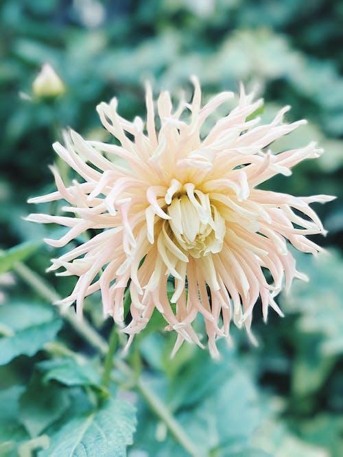 White Spider Mum Flower