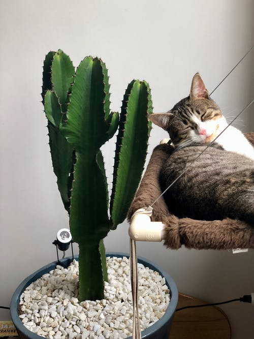 Grey Tabby Cat Laying Beside Green Cactus