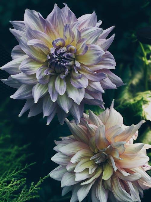 Photos gratuites de centrale, croissance, dahlia, fleur