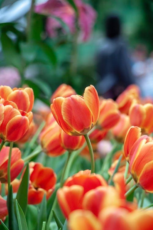 Orange Tulips in Bloom