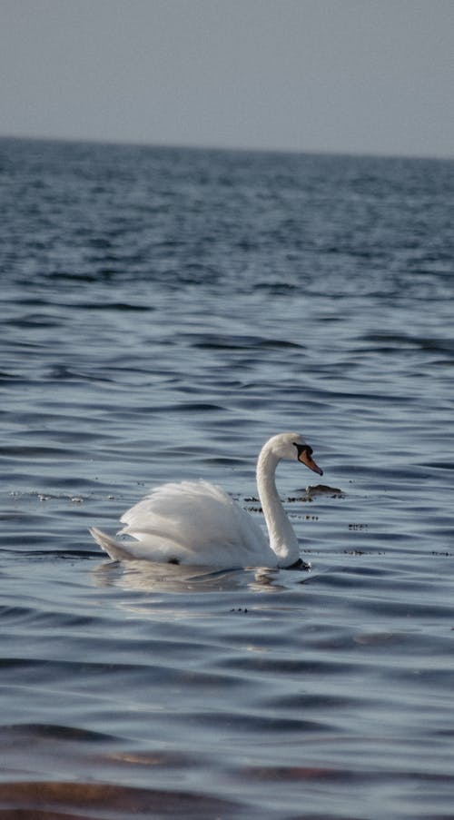 Foto profissional grátis de cisne, cisnes, mar azul