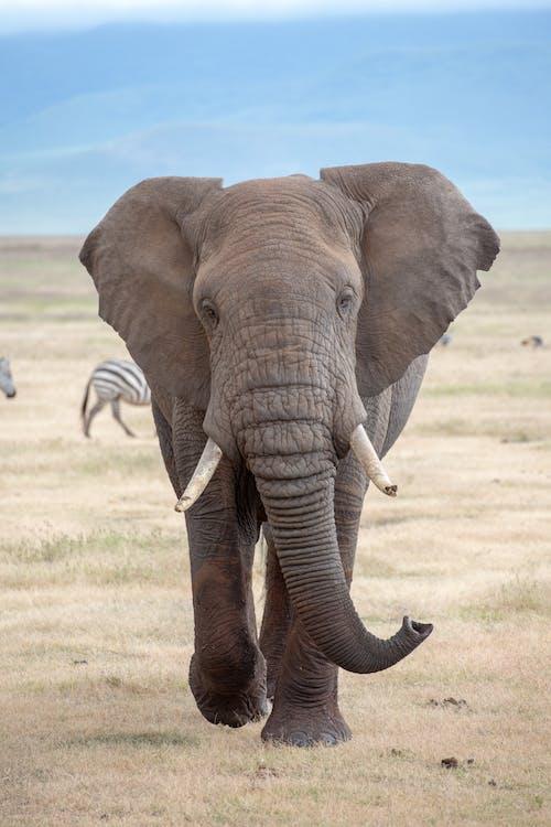 Grey Elephant on Green Grass Field