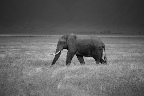 Elephant Walking on Grass Field in Grayscale Photography