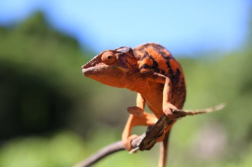 Extreme Close-Up Shot of a Chameleon Perched on a Twig