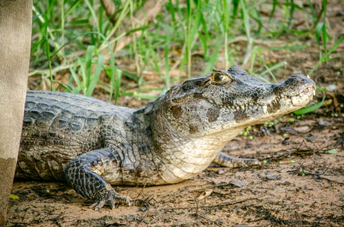 Kostnadsfri bild av alligator, amfibie, djur