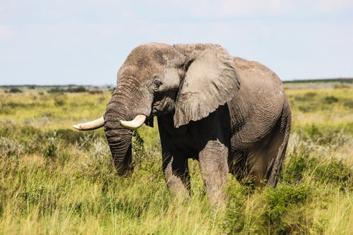 Grey Elephant on Green Grass Field