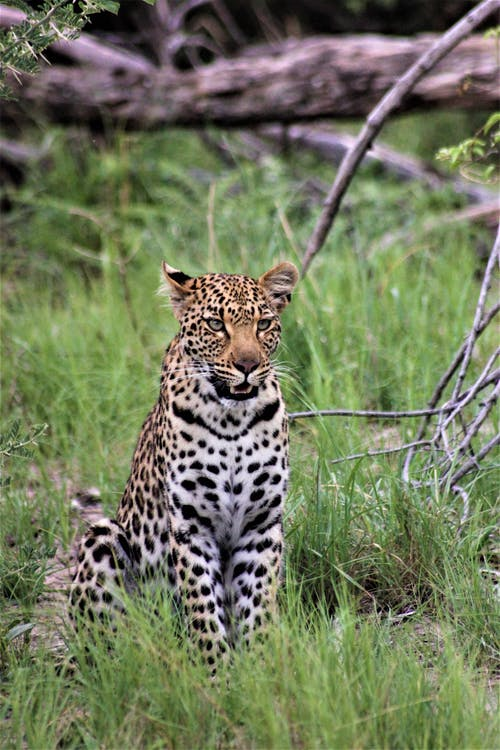 Leopard on Green Grass
