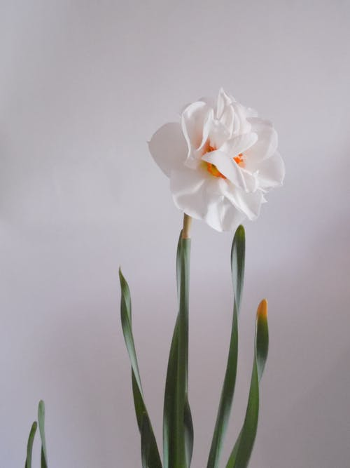 Delicate fragrant blooming narcissus with lush bud and thin petals against white background