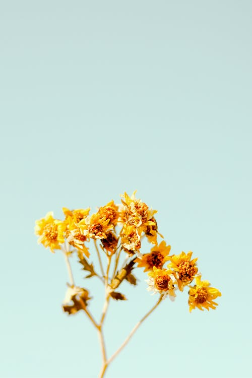 Yellow wildflowers on thin stem on blue background