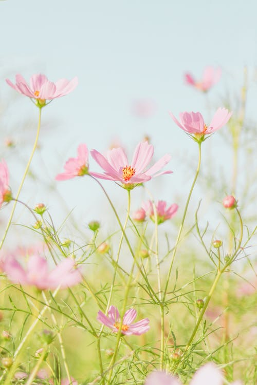Bright blossoming garden cosmos flowers growing in green field in nature in daylight
