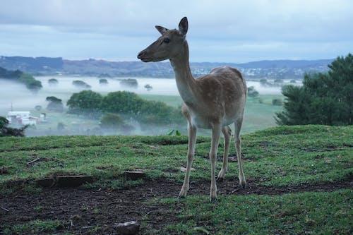 Free stock photo of deer, deer farm, deer fog