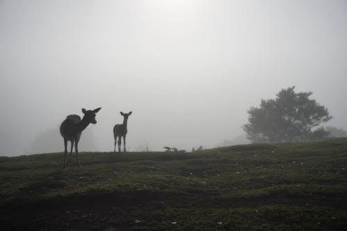 Free stock photo of animal silhouette, animals, deer