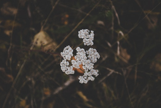 White Clustered Flowers