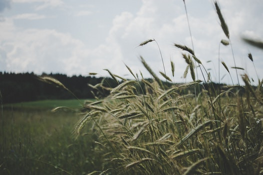 Selective Focus Photo of Wheat Plant Under Cloudy Sky