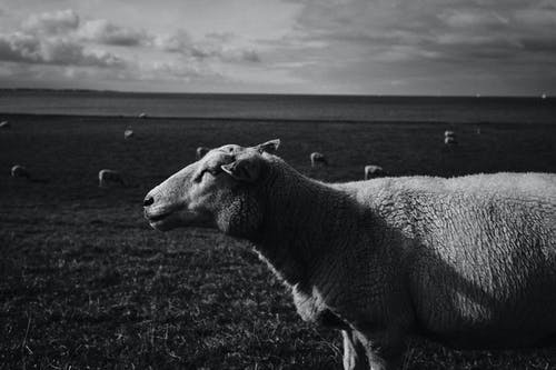 Grayscale Photo of Sheep on Grass Field
