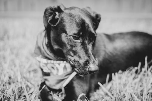 Free stock photo of black dog, dog, labrador