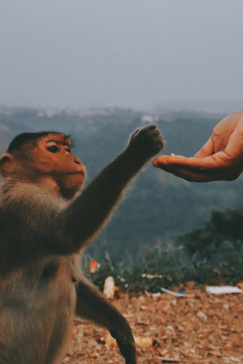 Brown Monkey and a Persons's Hand