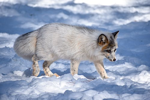 White and Black Fox on Snow Covered Ground