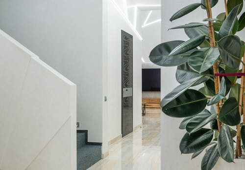 Potted Ficus elastica decorating light minimalist hallway of modern house