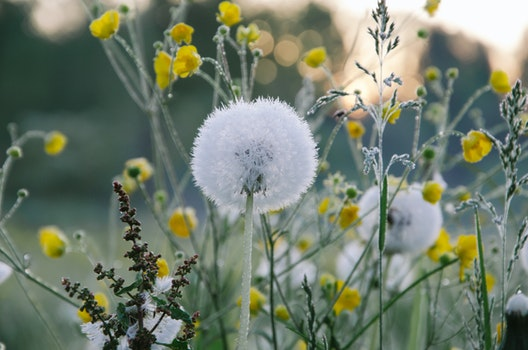 Free stock photo of flowers, dandelion