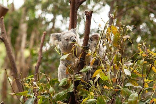 Koala Bears on Tree Branches