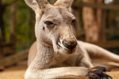 Brown Kangaroo Lying on Ground