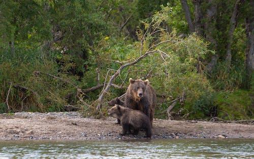 Brown Bears on Riverside