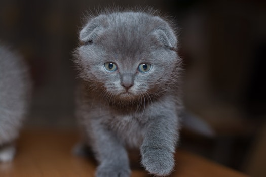 Kostenloses Stock Foto zu tier, katze, grau, kätzchen