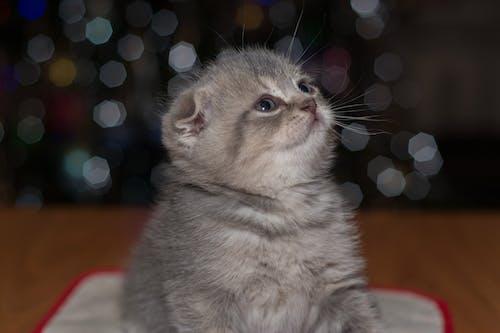 Kostenloses Stock Foto zu kätzchen, katze, kleine katze, tier