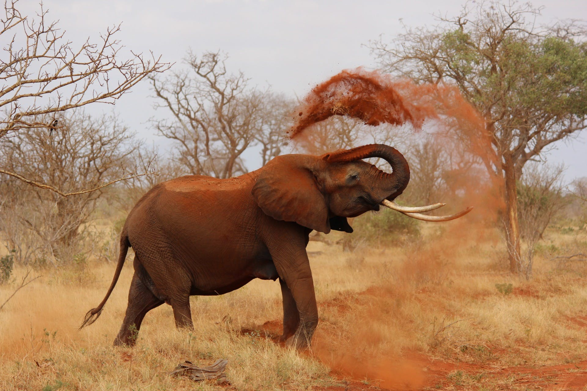 Grey Elephant Throwing Sand With Trunk Near Green Trees