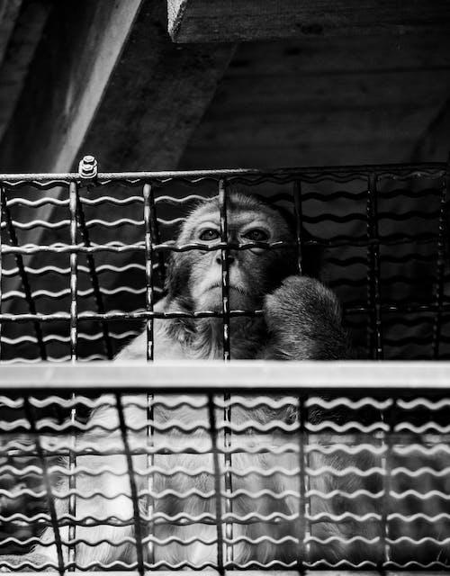 Free stock photo of black and white, monkey