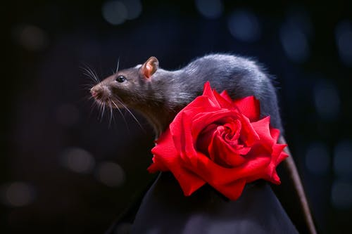 Cute Rat on Red Rose