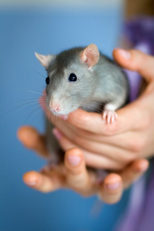 Person Holding Gray Mouse