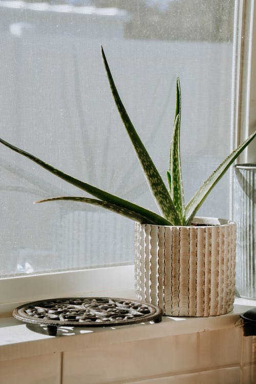 Aloe Vera Plant in White and Brown Pot near Window
