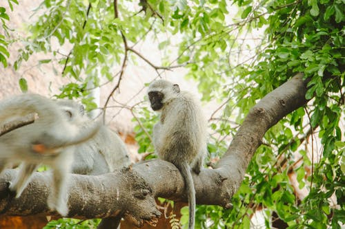 Two White and Gray Monkeys on Tree Branch