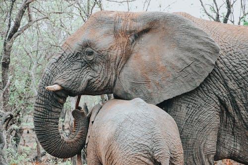 Fotobanka sbezplatnými fotkami na tému africký slon, Afrika, cicavec
