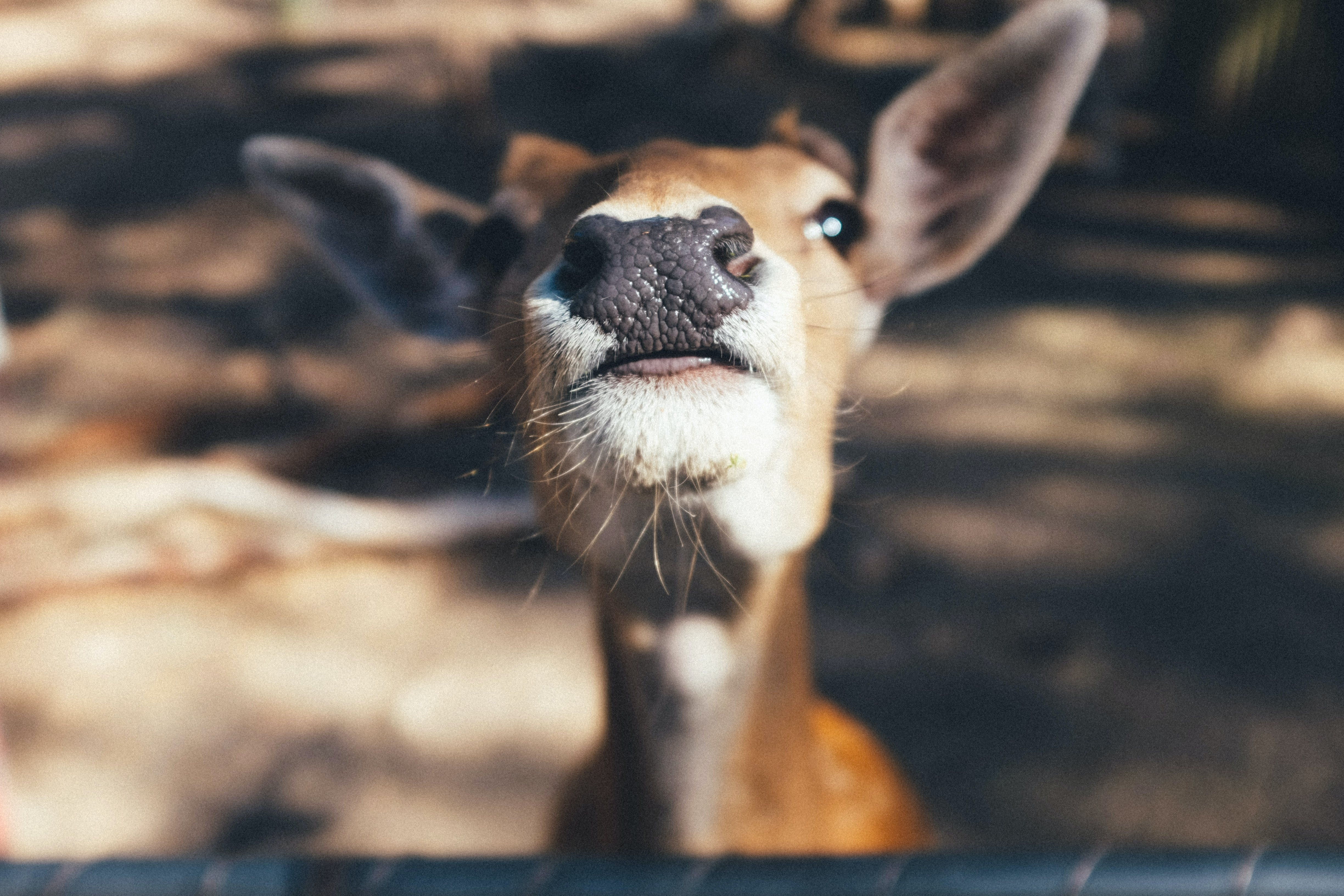 Close-up Photography of Brown and White Deer