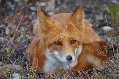 Fox Lying Down on Grass