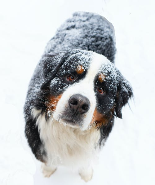 Black White and Brown Bernese Mountain Dog on Snow Covered Ground