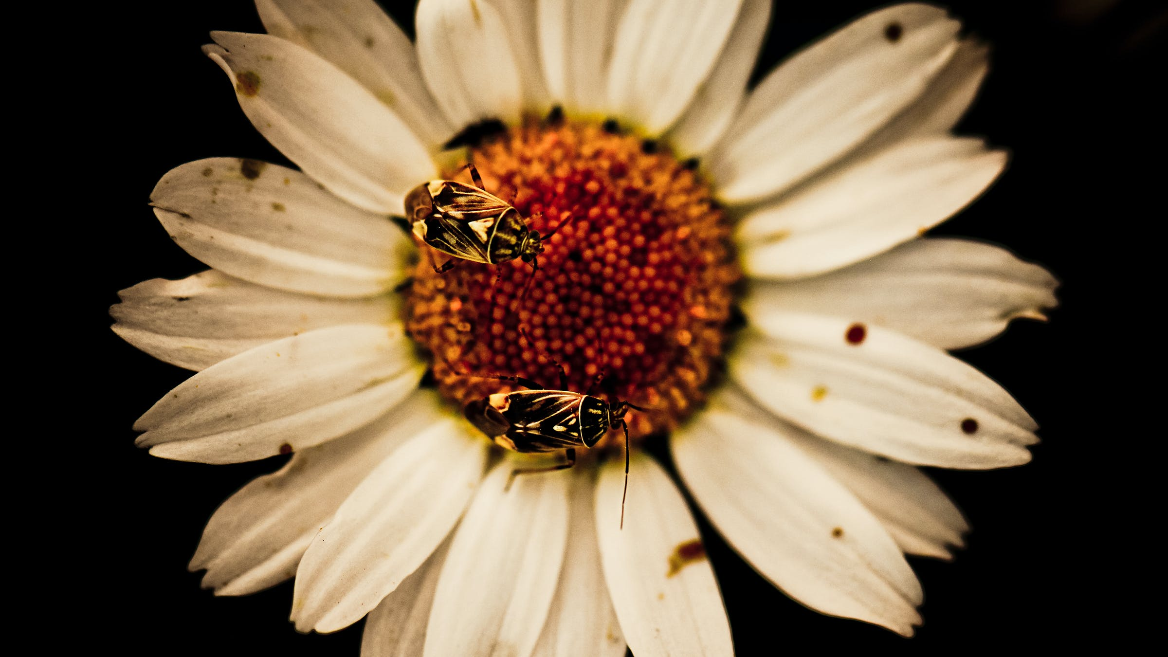Two Flies on White Daisy Flowers