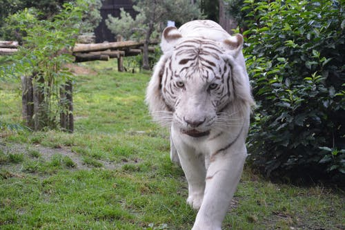 Free stock photo of animal, bushes, park, white
