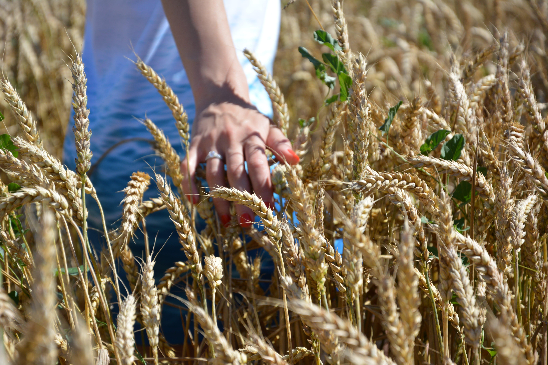 Free stock photo of corn, fiancée, field, france